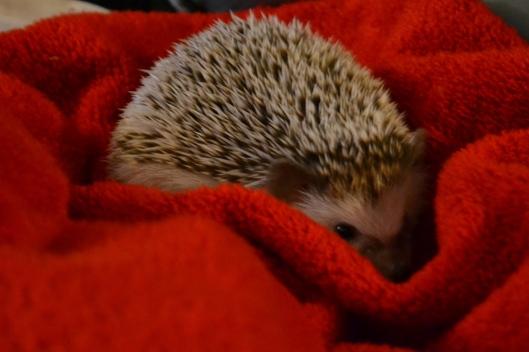 shy baby hedgie
