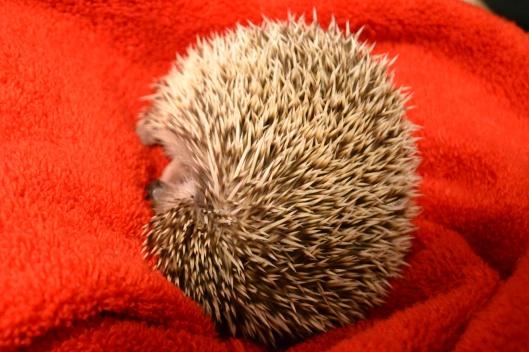 hedgie hedgehog sleep