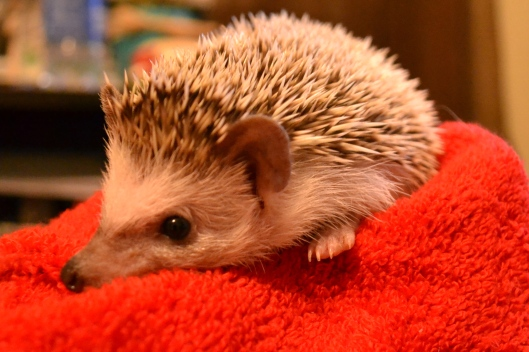 sebastian the cute baby hedgehog