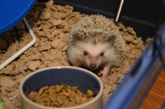 hedgie eating cat food