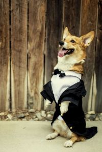 wedding groom corgi