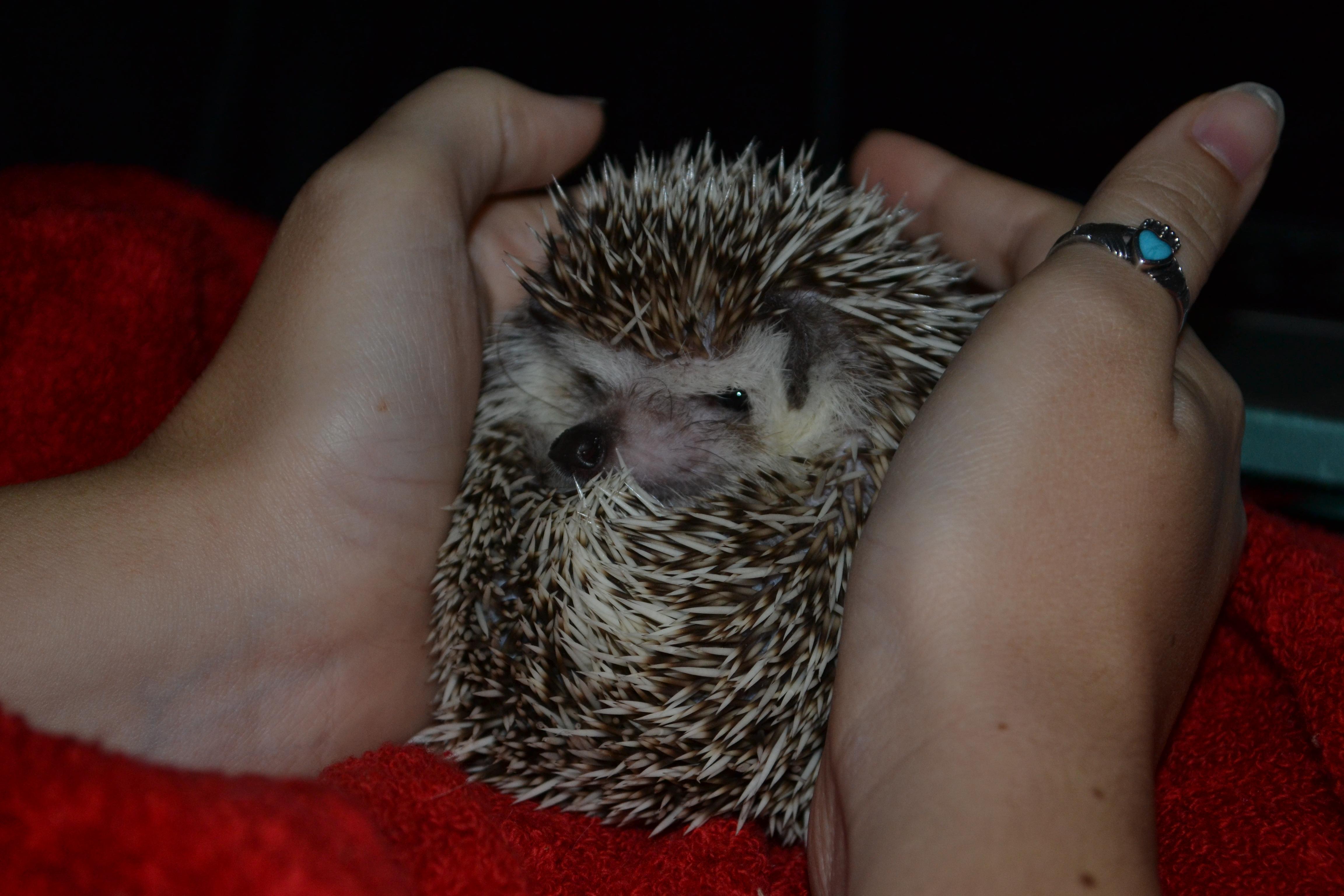 how to train a grumpy hedgehog